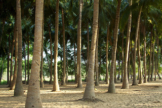 Indian Coconut Farmers Benefit from Local Procurement Programs