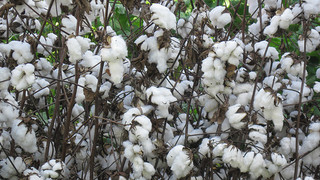 Cotton Goods in Pakistan Are Improving